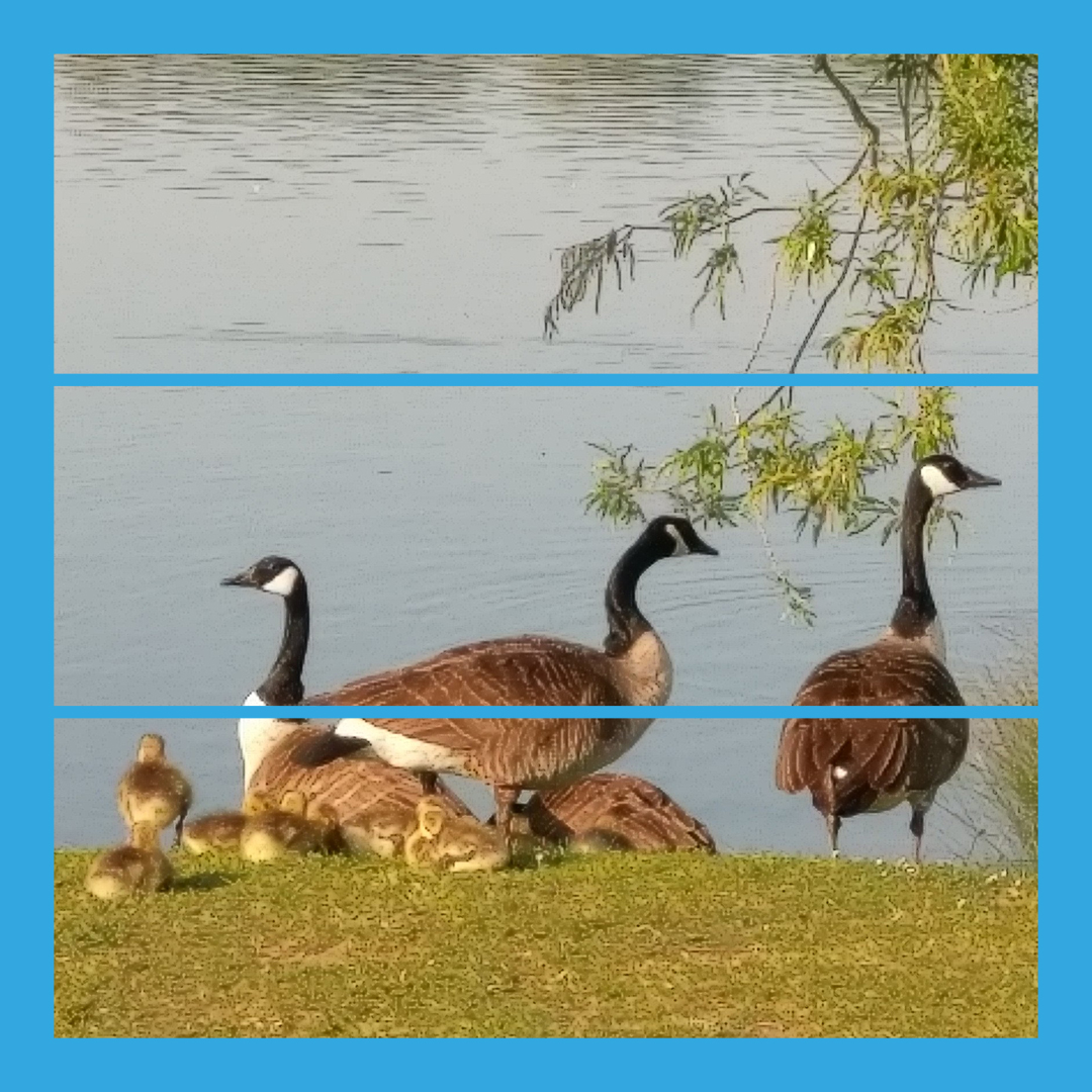 Andy Purves Canada Geese